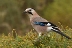 Where is the Bar Mitzvah - European Jay by Jamie-MacArthur