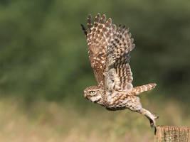 Little owl by Jamie-MacArthur