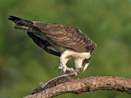 Osprey with fish by Jamie-MacArthur