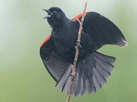 Red winged Blackbird displaying by Jamie-MacArthur