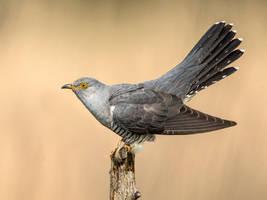 Cuckoo by Jamie-MacArthur