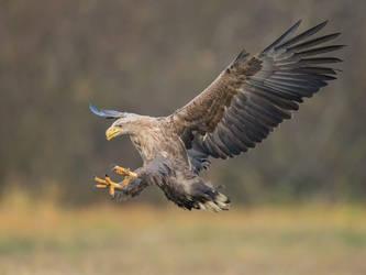 White-tailed Eagle -Poland by Jamie-MacArthur
