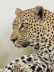 Male Leopard by Jamie-MacArthur