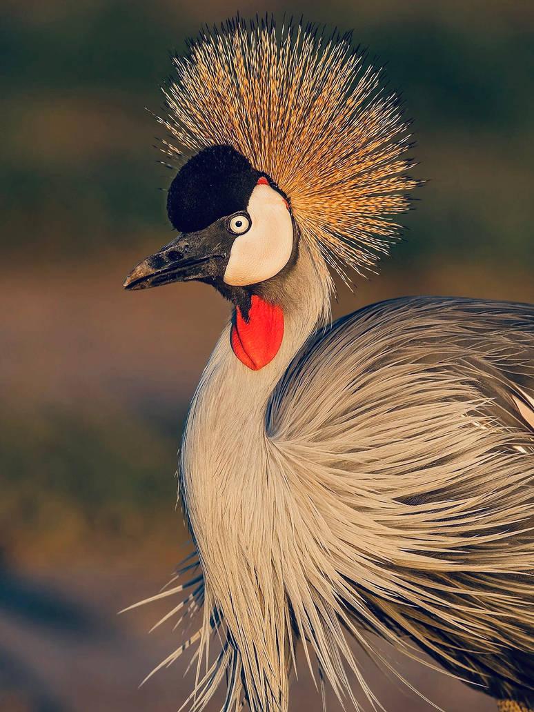 Grey Crowned-Crane by Jamie-MacArthur