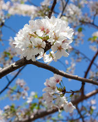 Spring Blossoms by TowiWakka