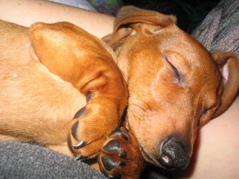 Winky the sleepy Dachshund by fuzzypurplequill