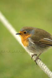 Rope Robin by cuffbertt