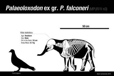 Palaeoloxodon ex gr. P. falconeri CALF by Asier-Larramendi