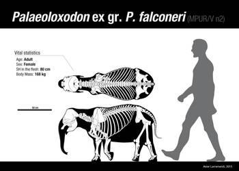 Palaeoloxodon ex gr. P. falconeri Adult FEMALE by Asier-Larramendi