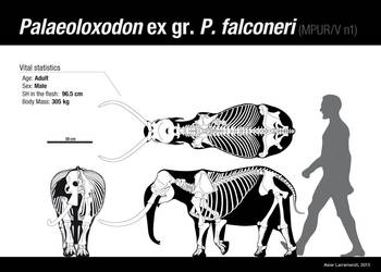 Palaeoloxodon ex gr. P. falconeri Adult MALE by Asier-Larramendi