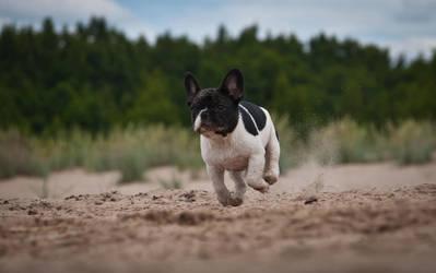 french bulldog 11 by mikkolo77