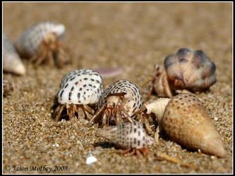 Hermit Crabs 3 by jmotbey