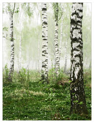 Foggy Birch Forest by snader