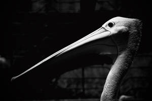 Pelican in Life by gonnaday