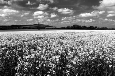 Rapeseed Field by Teakster