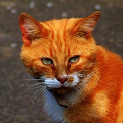 Ginger Cat by Teakster