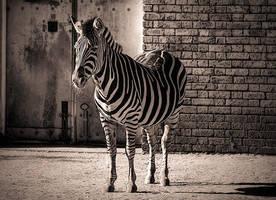 Zebra by fbuk