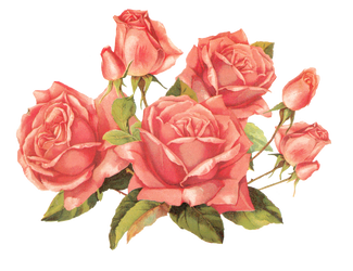 Rose pink by jinifur