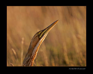 Bittern by pictureguy