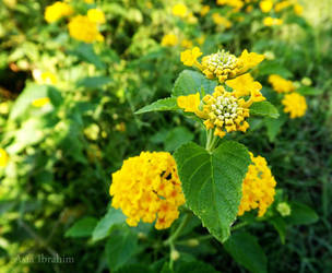 yellow flowers by asiaibr