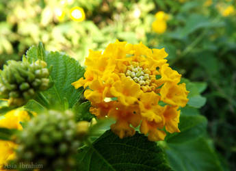 flowers by asiaibr