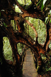 Ficus Strangler Fig by kimbrr