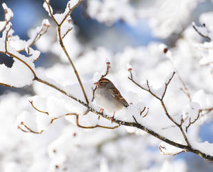 Snow Tweet by Tailgun2009