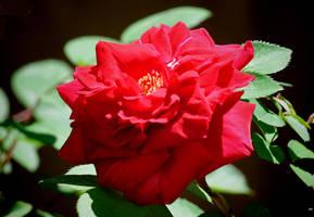 Rose 4-11-10 by Tailgun2009