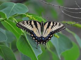Backyard Butterfly by Tailgun2009