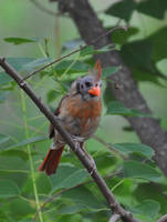 Female Cardinal 6-23-11 by Tailgun2009