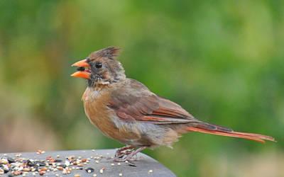 Female Cardinal 9-3-11 by Tailgun2009