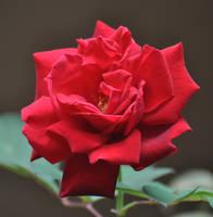 Autumn Rose by Tailgun2009