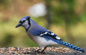Blue Jay 5-7-12 by Tailgun2009