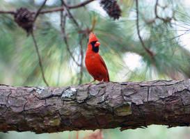 Male Cardinal 5-10-14 by Tailgun2009