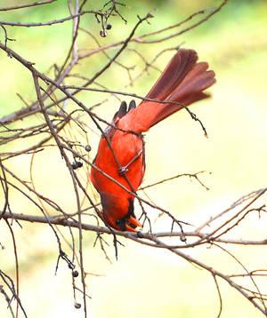 Cardinal eating upside down by Tailgun2009