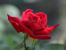 September-Rose by Tailgun2009