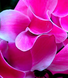 Cyclamen by Tailgun2009