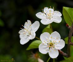 cherry flower by dbstrtz