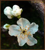 plum flower by dbstrtz