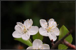 cherry flower 4 by dbstrtz