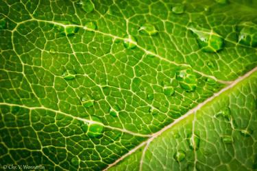 Rain on a Leaf by cvnielsen