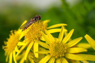 Hoverfly by cvnielsen