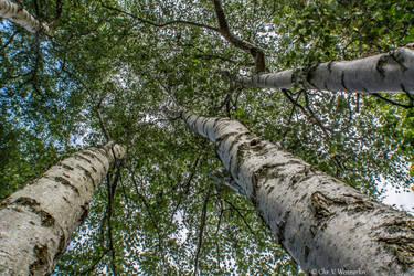 Birch Trees by cvnielsen