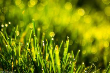 Morning Dew by cvnielsen