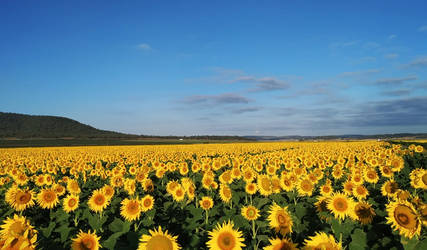 Field of Sunflowers by Lotus105