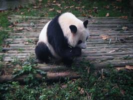 Panda II by bamitsmaxeen