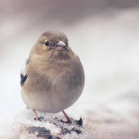 Snow Finch by FreyaPhotos