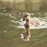 Little Duck by FreyaPhotos