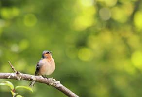 Fat Bird by FreyaPhotos