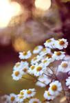 Daisy Sunset by FreyaPhotos
